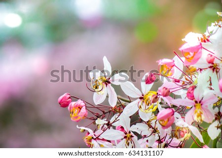 Cassia Bakeriana Craib Stock Images RoyaltyFree Images Vectors