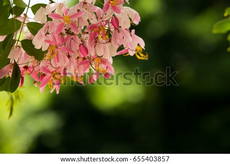 Pink Cassia Stock Images RoyaltyFree Images Vectors Shutterstock