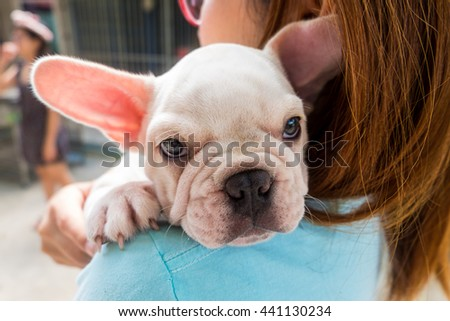 Lovely French bulldog in house - stock photo