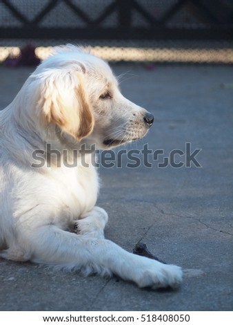 lovely funny white cute fat compact size puppy dog close up makes smiling face and eyes under natural sunlight and home garden outdoor background