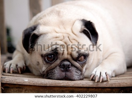 lovely funny white cute fat pug dog close up laying on a wooden chair making funny face outdoor on a sunny day in summer