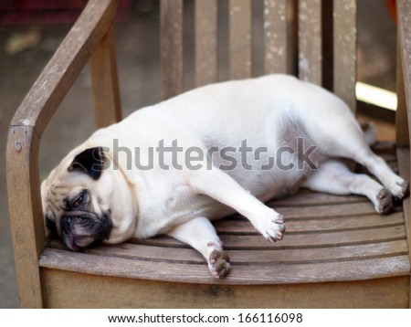 lovely funny white cute fat pug dog close up laying on a wooden chair making sad face - stock photo