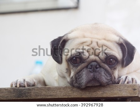 lovely funny white cute fat pug dog close up laying on a wooden table making sad face outdoor under natural sunlight and green environment background