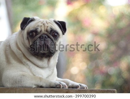 lovely funny white cute fat pug dog close up laying on a wooden table making sad face outdoor under natural sunlight and green environment background - stock photo