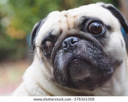 lovely funny white cute fat pug dog close up portraits posting on garage floor in a country house making moody face under natural sunlight on a sunny day looking for friends to play with. - stock photo