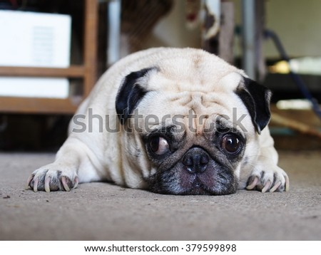 lovely funny white cute fat pug dog close up portraits posting on garage floor in a country house making moody face under natural sunlight on a sunny day looking for friends to play with.