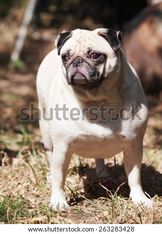 lovely funny white cute fat pug dog close up posting on the garage floor in a country house making moody face under natural sunlight on a sunny day looking for friends to play with. - stock photo