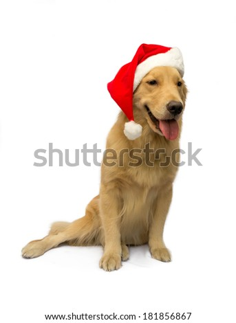 lovely golden retriever with christmas hat isolated in white background with clipping path