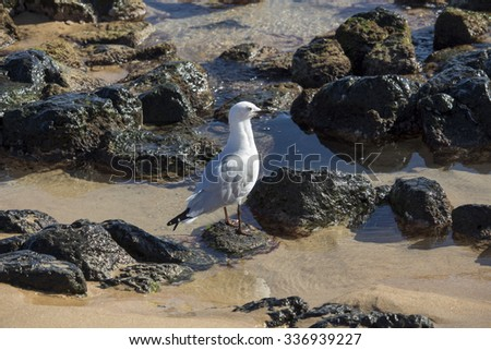 Lovely graceful   white   seagull Laridae in  sub-order Lari     standing   on   the  basalt rocky wet  sandy shore of   Ocean Beach Bunbury Western Australia on a fine sunny morning in late winter.