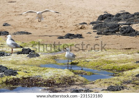 Lovely graceful white seagulls Laridae in the sub-order Lari  standing    on the algae strewn  beach at  Bunbury Western Australia  on a   sunny afternoon in late spring.