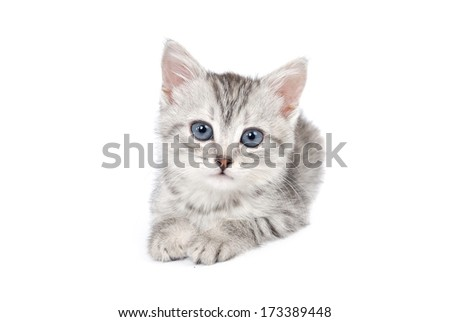 Lovely gray kitten. Isolated on white background