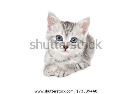 Lovely gray kitten. Isolated on white background - stock photo