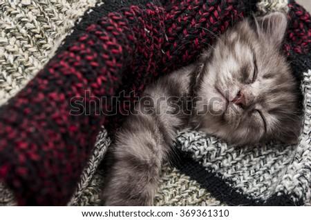 Lovely grey kitten sleep in woolen scarf - stock photo