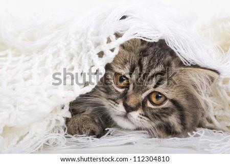 Lovely grey persian kitten lying in woolen shawl on white background - stock photo