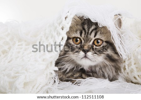 Lovely grey persian kitten lying in woolen shawl on white background - stock photo
