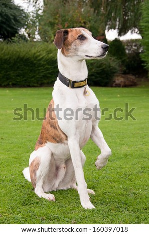 Lovely greyhound saying please by lifting his leg - stock photo