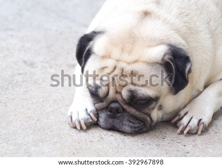 lovely happy white fat cute pug dog laying on concrete garage floor under warm summer sunlight making funny face