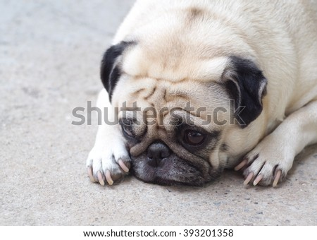 lovely happy white fat cute pug dog laying on concrete garage floor under warm summer sunlight making funny face  - stock photo