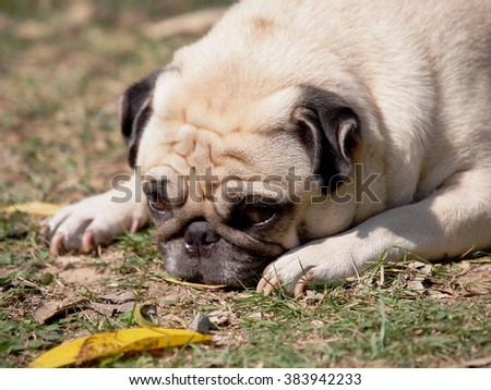 lovely happy white fat cute pug dog laying on the green grass floor under warm summer sunlight making funny face with home outdoor surrounding bokeh background