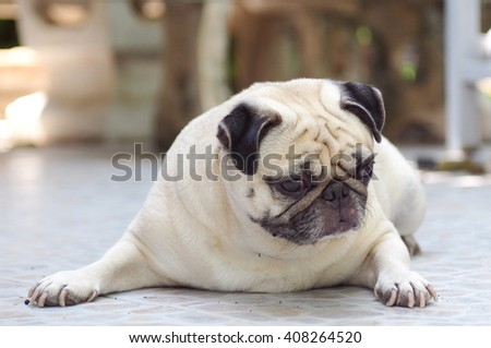 lovely happy white fat cute pug dog laying on the home garden floor under warm summer sunlight making funny face with home outdoor surrounding bokeh background - stock photo