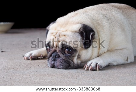 lovely happy white fat cute pug dog laying relaxing outdoor making funny face under morning sunlight die-cut isolated on dark background - stock photo