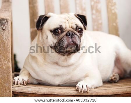 golden retriever dogs pictures golden retriever puppy is