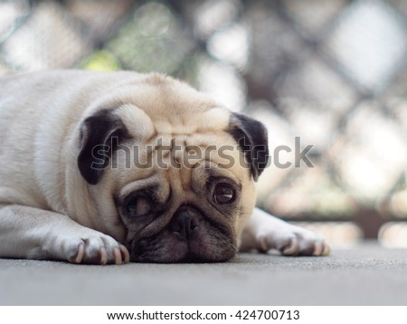 lovely happy white fat cute pug dog laying resting outdoor in home garden floor under warm summer sunlight making funny face with metal fence blur in background