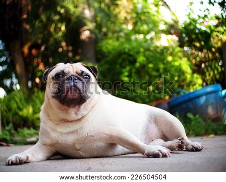 lovely happy white fat cute pug dog laying with elegance posting on the concrete garage floor making funny face under morning sunlight with home outdoor green surrounding bokeh background  - stock photo