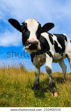 Lovely Holstein Frisian cow standing in field. - stock photo