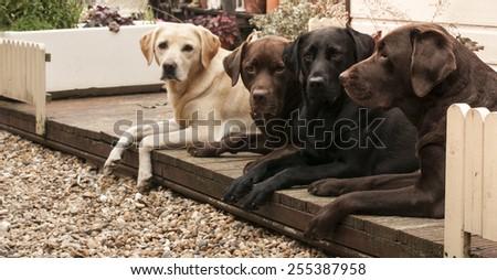 lovely labradors - stock photo