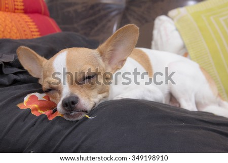 Lovely Lazy dog lying on a bed in a holiday
