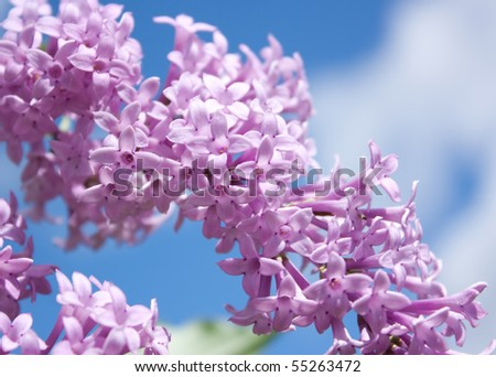 Lovely Lilac - stock photo