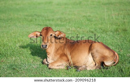lovely little cow