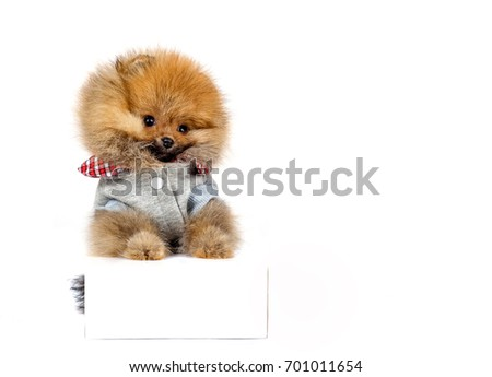 Lovely little puppies isolated on white background. Pomeranian. Greeting card.