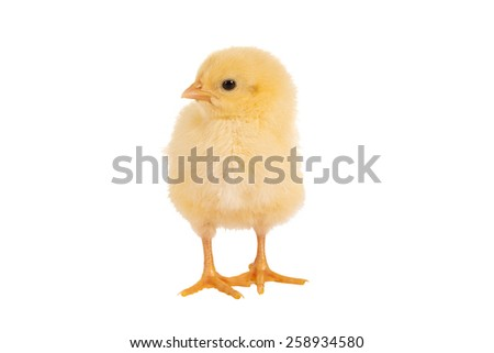 Lovely little yellow easter chick of only 1 day old - stock photo