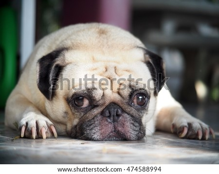 lovely lonely white fat cute pug dog laying on garage floor making sadly moody face with home outdoor surrounding bokeh background under morning sunlight