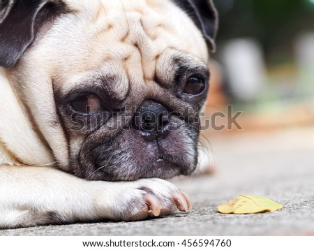 lovely lonely white fat cute pug dog laying on the concrete garage floor making sadly face  under morning sunlight - stock photo