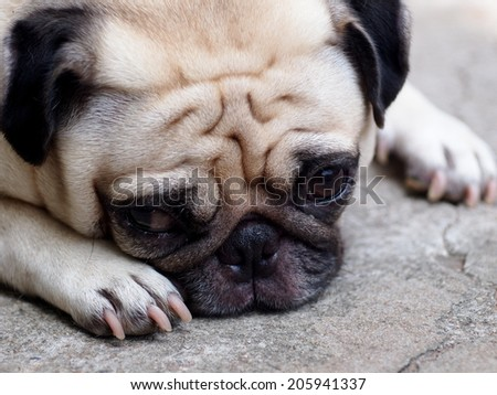 lovely lonely white fat cute pug dog laying on the floor making sadly face outdoor on the garage floor