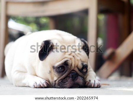 lovely lonely white fat cute pug dog laying on the floor making sadly face with home outdoor surrounding bokeh background - stock photo