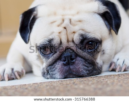 lovely lonely white fat cute pug dog laying on the floor making sadly face with home outdoor surrounding  background under morning sunlight - stock photo
