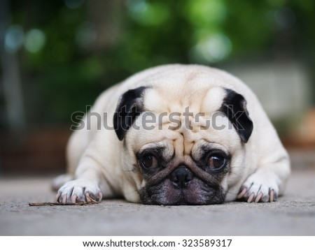 lovely lonely white fat cute pug dog laying on the floor making sadly face with home outdoor surrounding background under morning sunlight