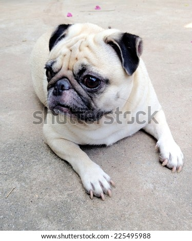 lovely lonely white fat cute pug dog laying on the gray concrete garage floor making sadly face  - stock photo