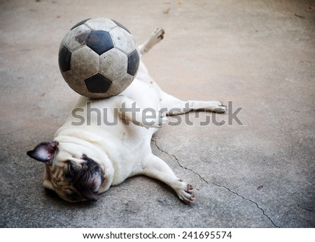 lovely lonely white fat cute pug dog laying rolling on the garage floor making funny face and posture with an old football on her body   - stock photo
