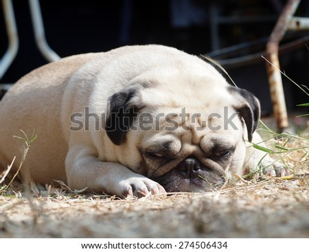 lovely lonely white fat cute pug dog laying sunbathing on the warm brown dried grass floor making sadly face with home outdoor surrounding bokeh background under afternoon sunligh - stock photo
