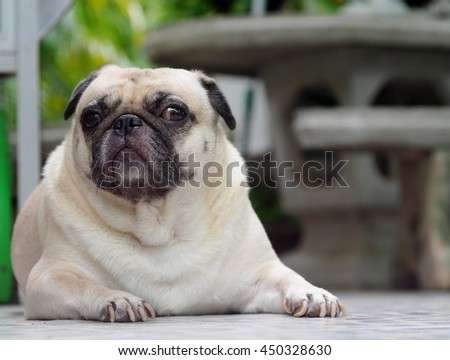 lovely lonely white fat cute pug dog playing on the concrete garage floor making sadly face with home outdoor surrounding bokeh background under morning sunlight - stock photo