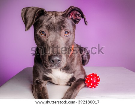 Lovely looking pit bull