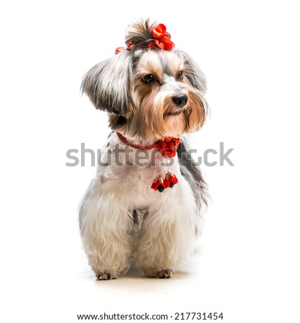 lovely male of the Yorkshire Terrier on white background