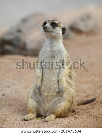 lovely meerkat standing and looking out at zoo  - stock photo