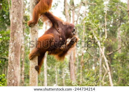 Lovely orangutan family. - stock photo
