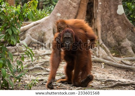 Lovely Orangutan family in the jungle of Borneo Indonesia.